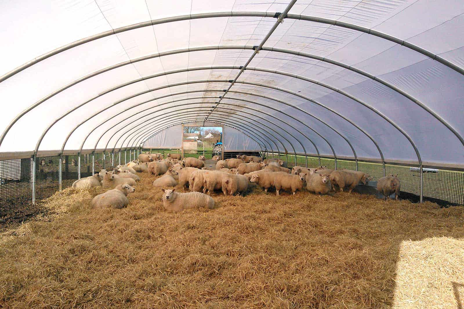 Inside view of a Cheviot 9000 lambing shelter and sheep polytunnel - Ideal for Lambing - McGregor Polytunnels