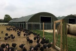 Free range Kelly Bronze turkeys outside a McGregor Polytunnels turkey pop-up building